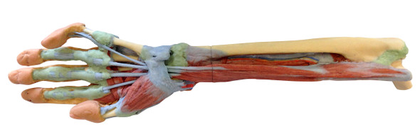Forearm and hand - deep dissection - 3D Printed Cadaver