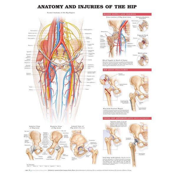 Anatomy and Injuries of the Hip