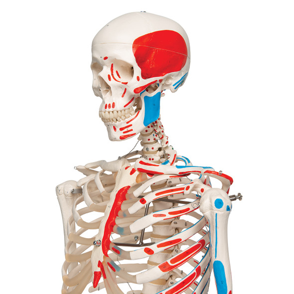 Artificial Skeleton Model with Painted Muscle Origins and Inserts | 3B Scientific A11