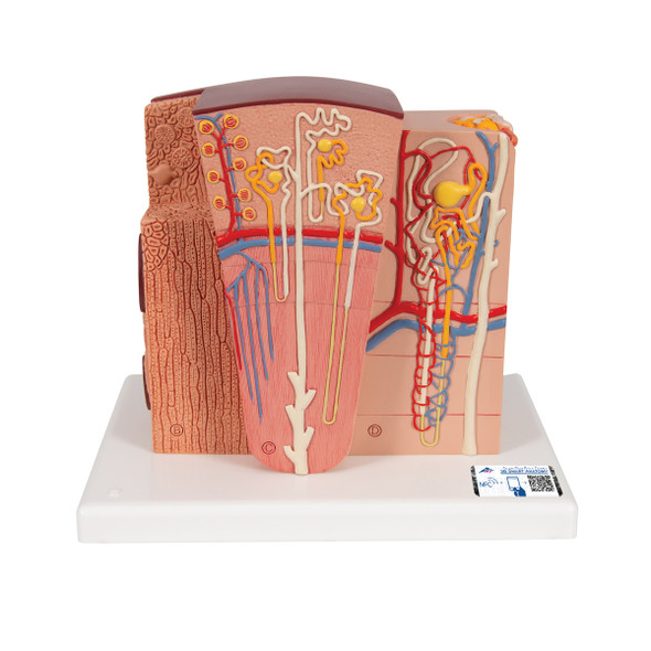 MICROanatomy Kidney