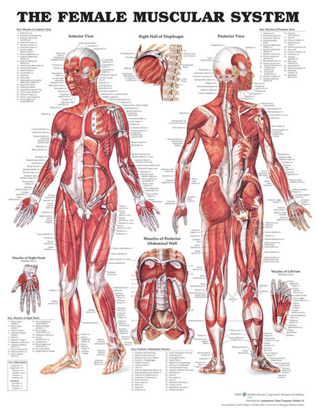 The Female Muscular System