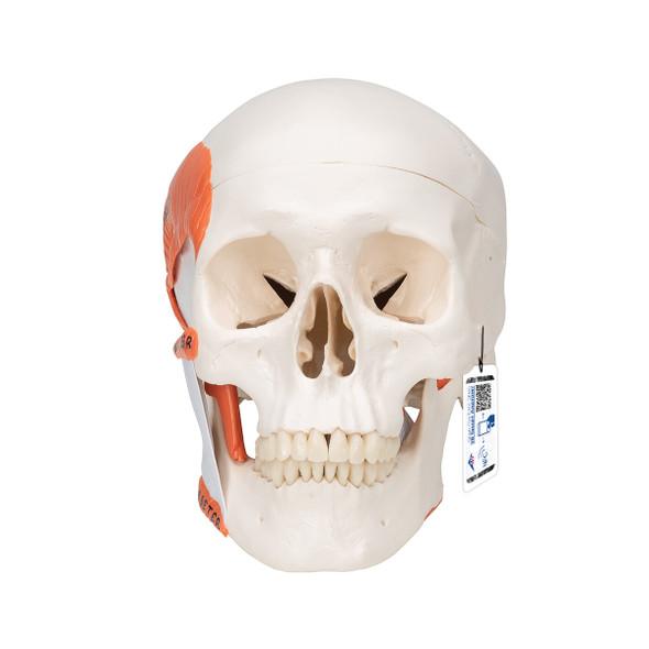 TMJ Human Skull Model