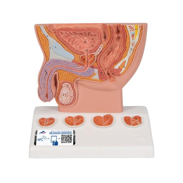 Prostate Model/lifelike colours | 3B Scientific K41