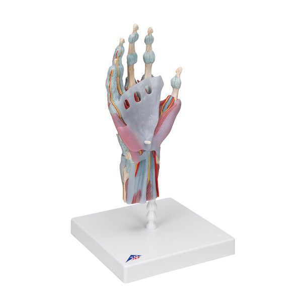 Hand Skeleton Model with Ligaments and Muscles, 4 parts