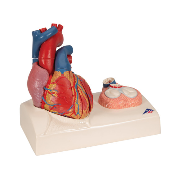 Magnetic Heart model, life-size, 5 parts - 3B G01