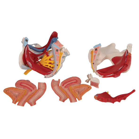 Human Female Pelvis Skeleton Model with Ligaments, Vessels, Nerves, Pelvic Floor Muscles & Organs, 6 part | 3B Scientific H20/4