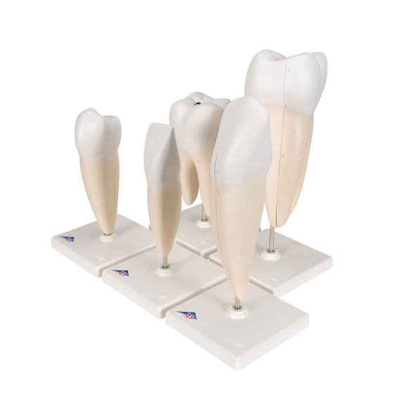 "Human Tooth Models Set ""Classic Series"", 5 Models"