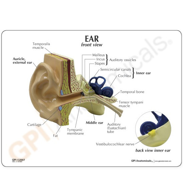 Education card for the ear model