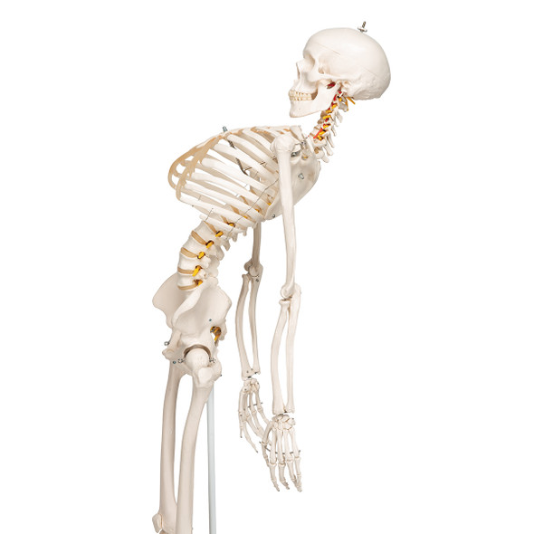 Standard Skeleton with Flexible Spine | 3B Scientific A15