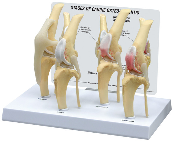 Canine 4-Stage Knee