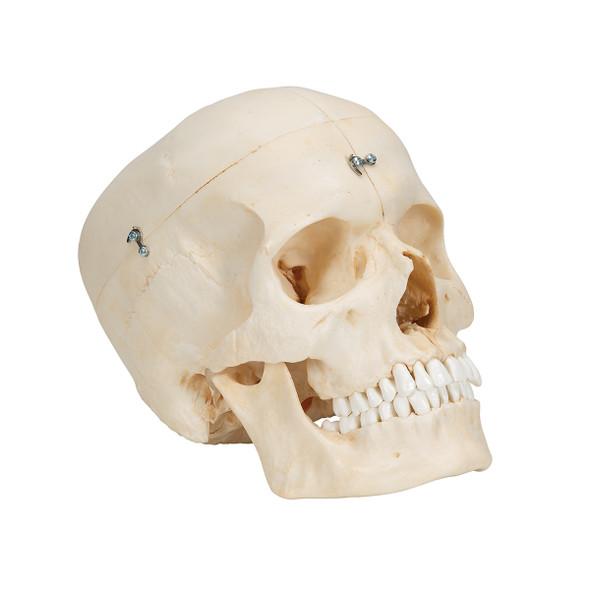 Bony Skull, 6-part | 3B Scientific A281