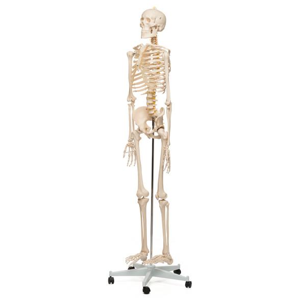 Value Standard Human Skeleton
