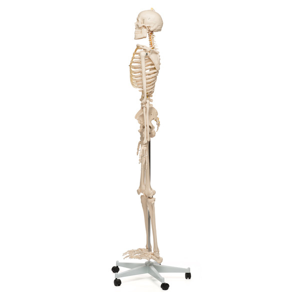 Value Standard Human Skeleton - lateral view