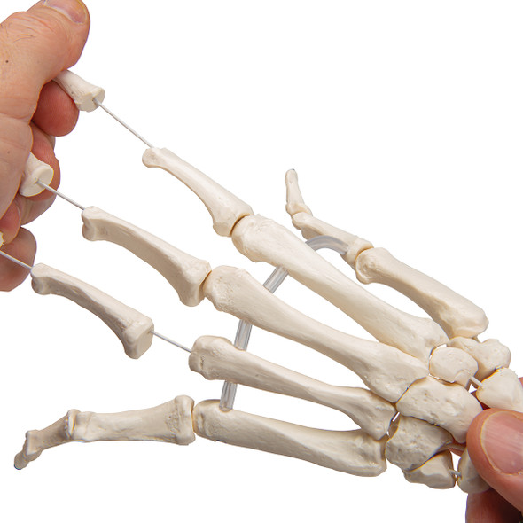 Flexible Hand Skeleton with Lower Arm