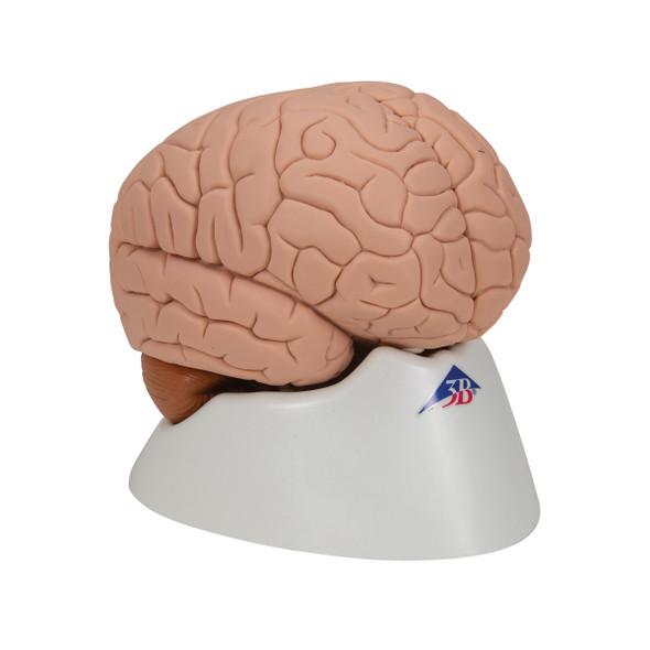 Brain Model, 2 parts | 3B Scientific C15