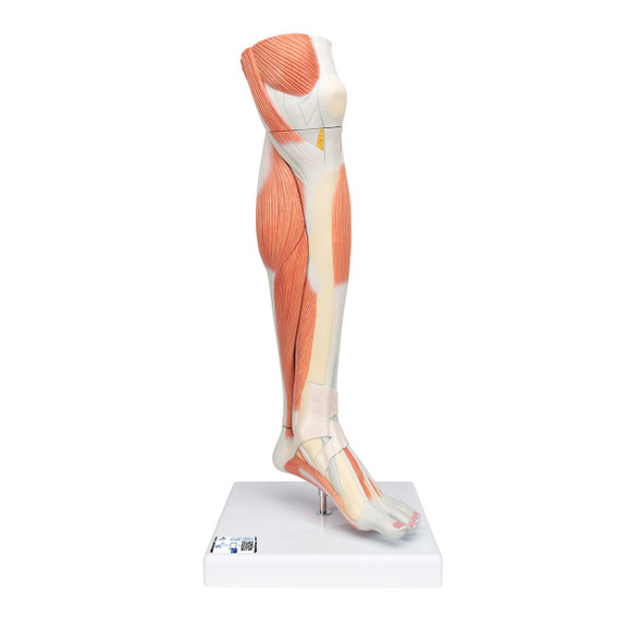 Lower Muscled Leg with Knee, 3 Part