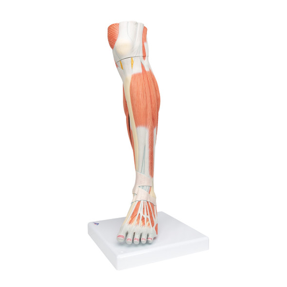 Lower Muscled Leg with Knee, 3 Part | 3B Scientific M22