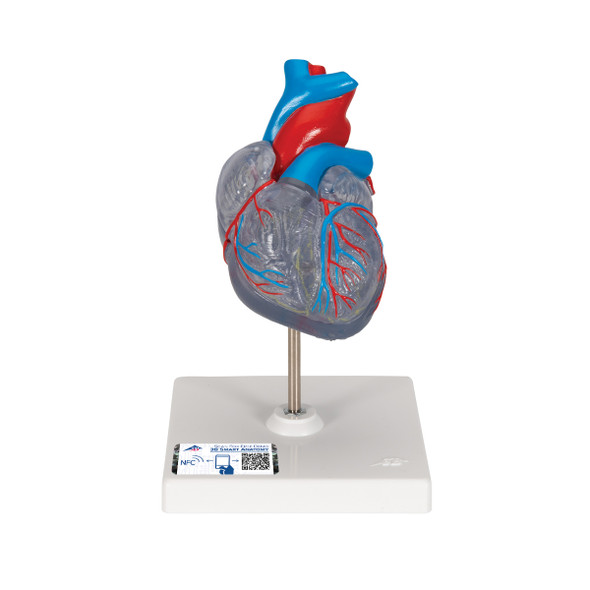 Transparent Heart Model | 3B Scientific G08/3