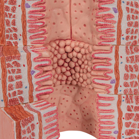 MICROanatomy Digestive System - 20 times magnified | 3B Scientific K23