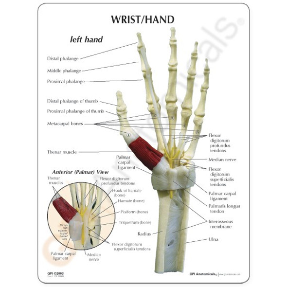 Hand and Wrist Skeleton
