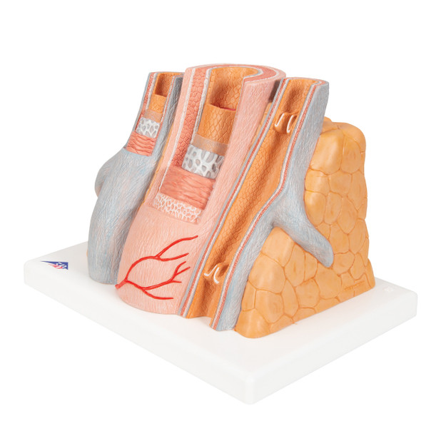 MICROanatomy Artery and Vein, 14 times Life-Size | 3B Scientific G42