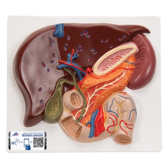 Liver/Gall bladder/Pancreas/Duodenum | 3B Scientific VE315