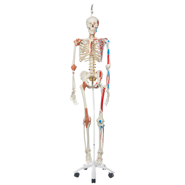 Super Skeleton with Muscle and Ligaments and Hanging Stand