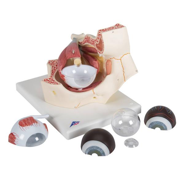 Eye Model in Orbit, 7-parts | 3B Scientific F13