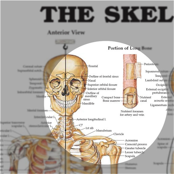 The Skeletal System anatomical chart - skull detail