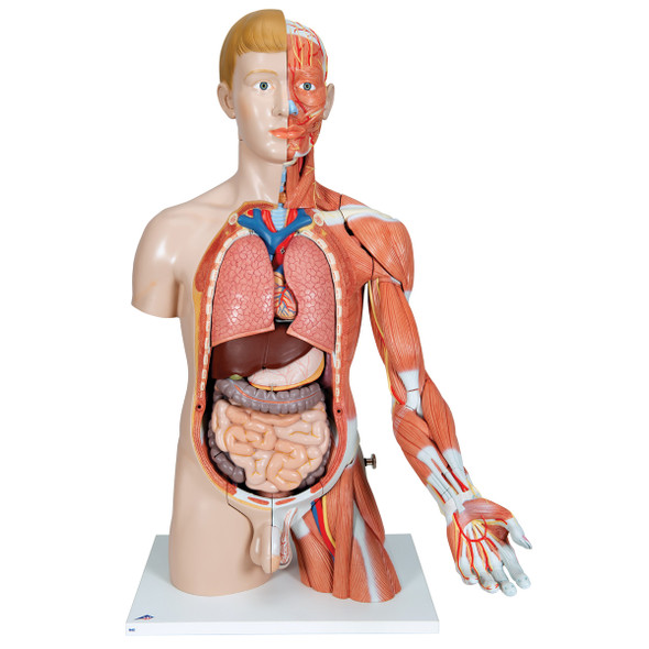 Deluxe Dual-Sex Torso with Muscled Arm, 33 parts | 3B Scientific B42