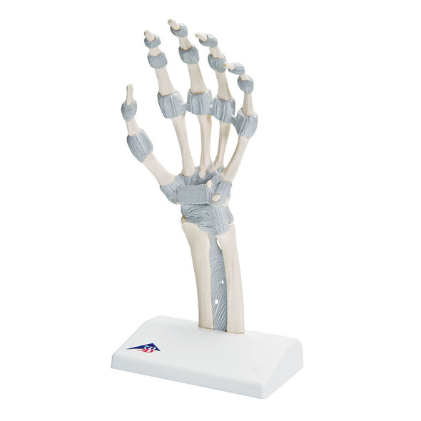 Functional Hand Skeleton Model with Elastic Ligaments