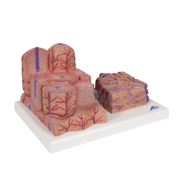 MICROanatomy Liver