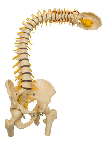 Deluxe Flexible Spine with Soft Flexible Discs