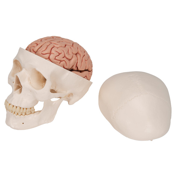 Classic Human Skull Model with 5 part Brain | 3B Scientific A20/9