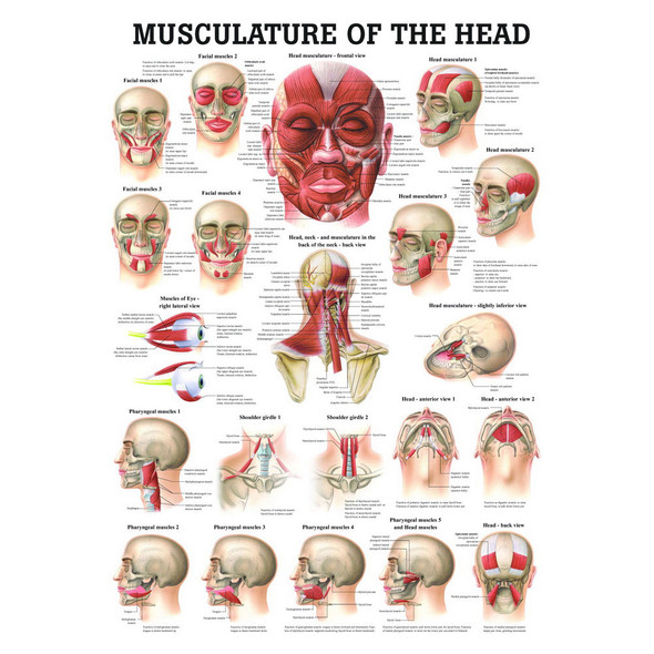 Musculature of the Head