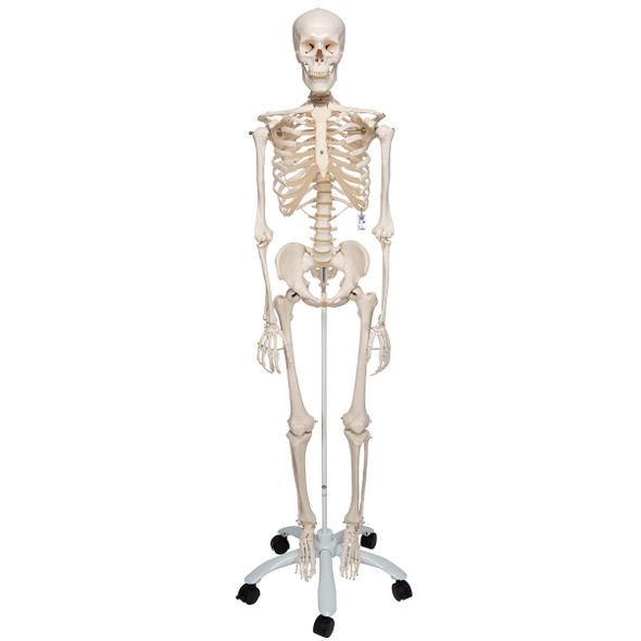 Stan - Standard Skeleton Model - anterior view