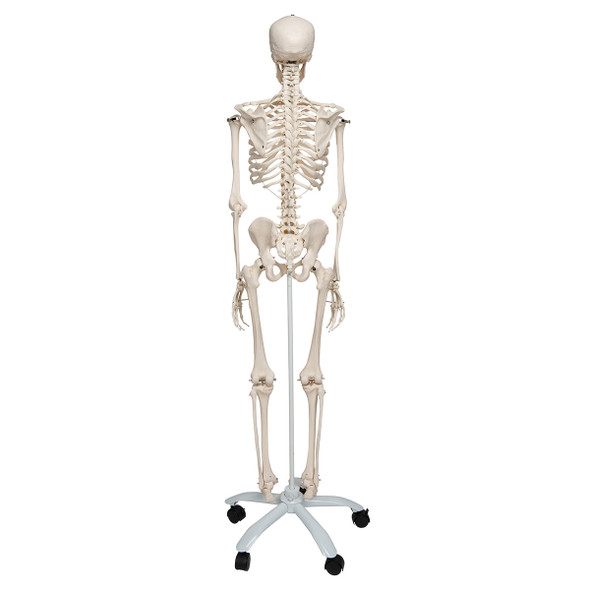 Stan - Standard Skeleton Model - posterior view