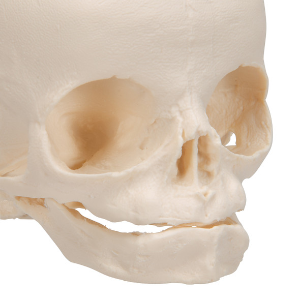 Fetal Skull | 3B Scientific A25