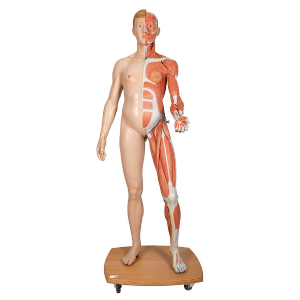 Life-size Dual-Sex Muscular Figure, 39 parts | 3B Scientific B53