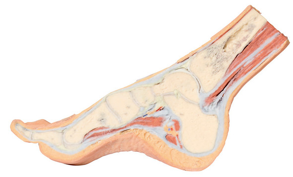 Foot - Parasagittal cross-section - 3D Printed Cadaver