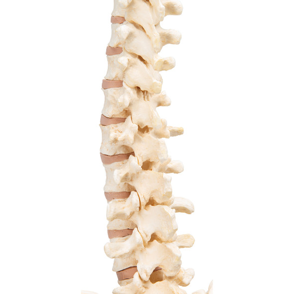 BONElike Vertebral Column