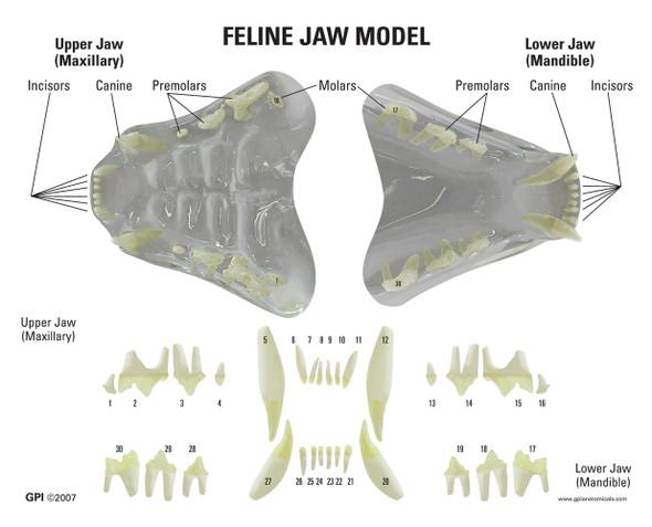 Clear Feline Jaw