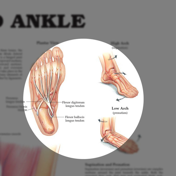 Foot and Ankle chart - highlight