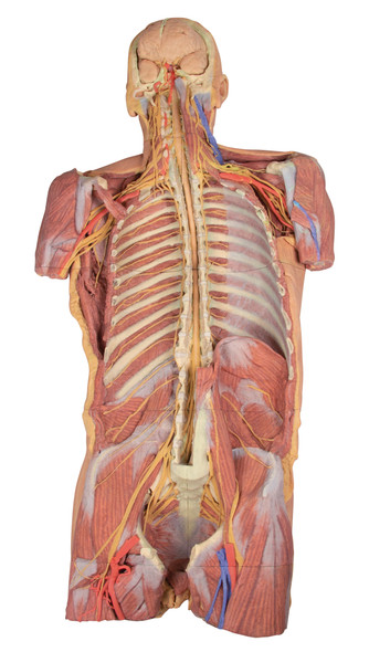 Posterior Body Wall / Ventral Deep Dissection - 3D Printed Cadaver