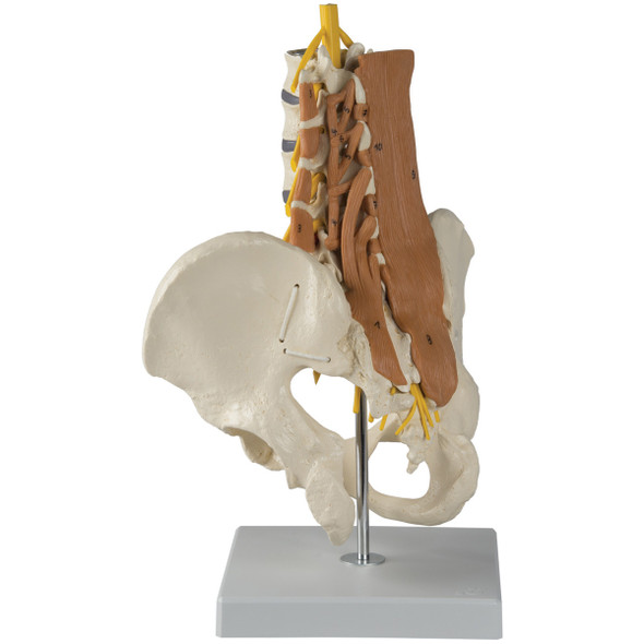 Pelvis with Lumbar Spine and Lumbar Muscles