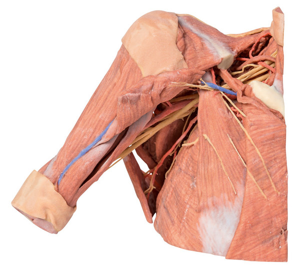 Right thoracic wall, axilla, and the root of the neck - 3D Printed Cadaver