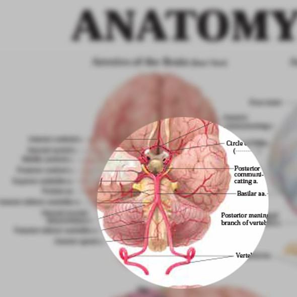 Anatomy of the Brain Chart - detailed