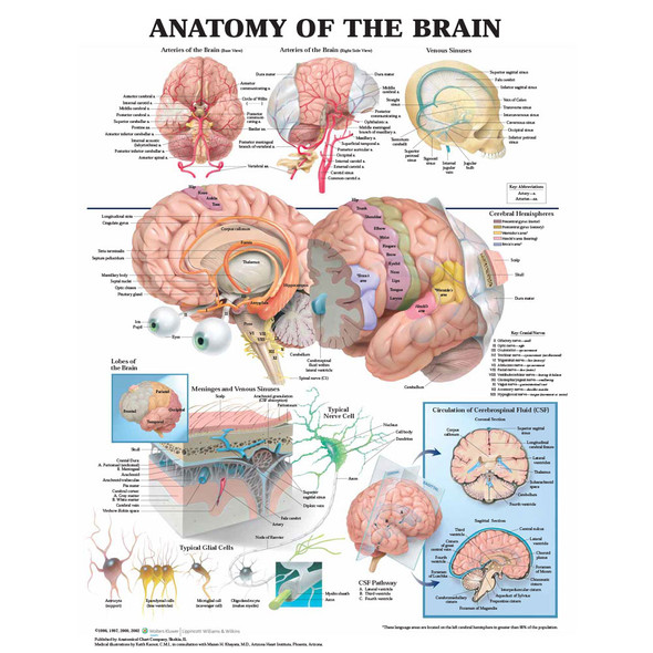 Anatomy of the Brain Chart