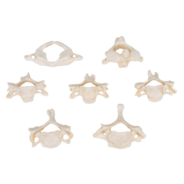 Set of 7 BONElike Cervical Vertebrae