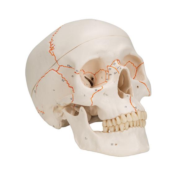 Numbered Human Classic Skull, 3-part | 3B Scientific A21